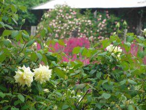 5. Greg's roses