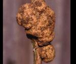 Crown gall girdling a rose courtesy of Baldo Villegas