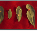 Galls on Southern Live Oak leaves caused by a gall wasp. This is not the same as crown gall