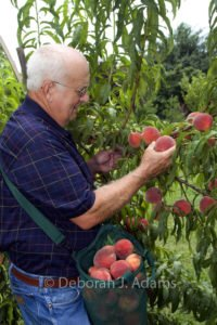 William D. (Bill) Adams harvesting Mid Pride peaches