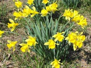 1. Lent Lily (1)