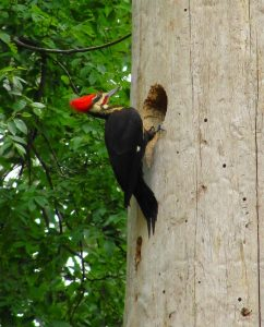 4. Pileated woodpecker