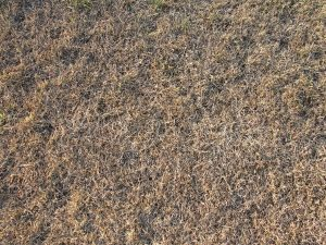 2. Parched turf