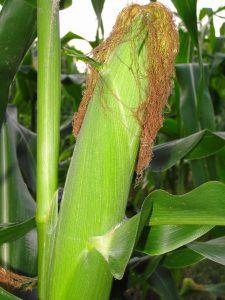 2. Sweet corn