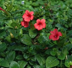 redbarleria