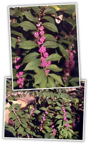 heidi_beautyberry