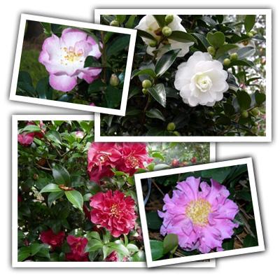 heidi_pick_camellia