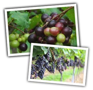 heidi_pick_grapes
