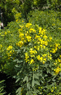 heidi_pick_yellow_senna
