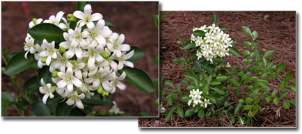 heidi_picks_dwarf_jasmine