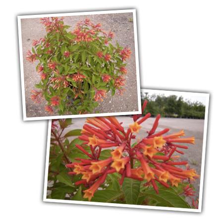 hummingbirdbush