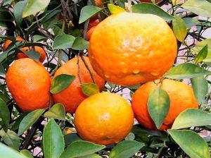 4. Changsha Tangerine
