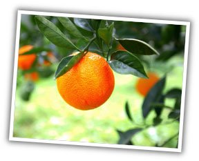 fruit_tree_sale