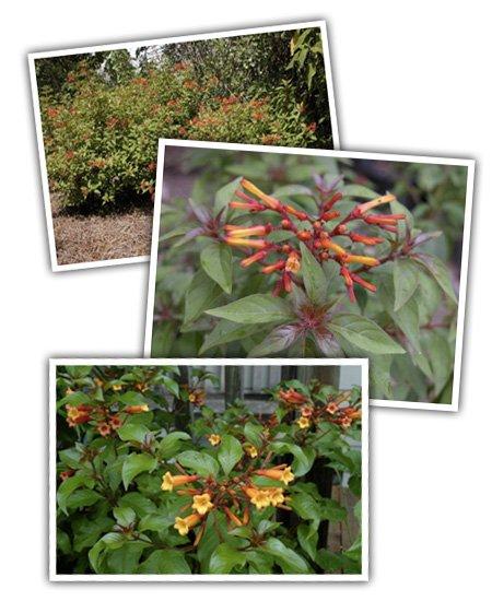 Garden Bush: Hamelia