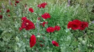 5. Poppies