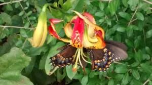 1. Carolina lily and swallowtails
