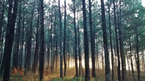 5. Pines