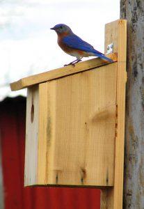 1. Bluebird on box