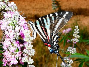 5. Zebra Swallowtail