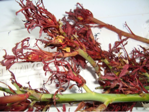 """Figure 1 - """"Witches Broom"""" growth from a Belinda's Dream rose infected with Rose Rosette Disease."""