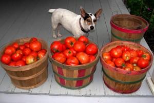 1.  Tomato harvest