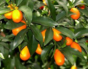 2. Kumquats