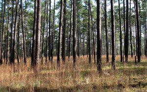 4. Longleaf Pines AG