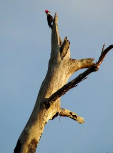 5. Pileated Woodpecker on snag