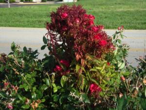 RRV in hedge of Knock Out roses in Nebraska
