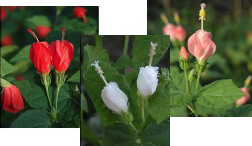 3flower-turkscap