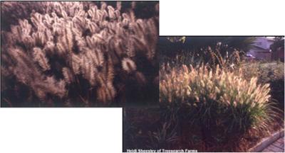 cassiangrass
