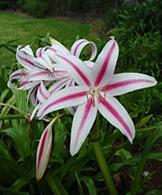 heidi_pick_crinum_stars_stripes_small
