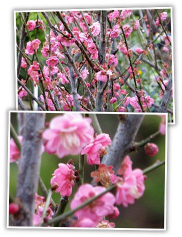 heidi_pick_flowering_apricot