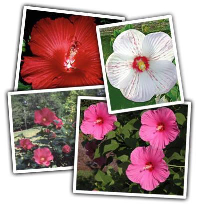 heidi_pick_hibiscus