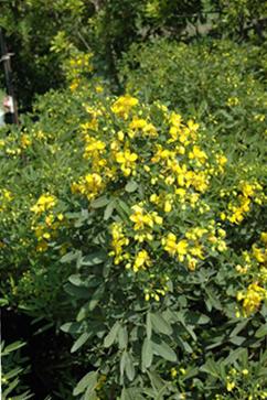 heidi_yellow_senna