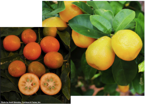 picks-kumquats