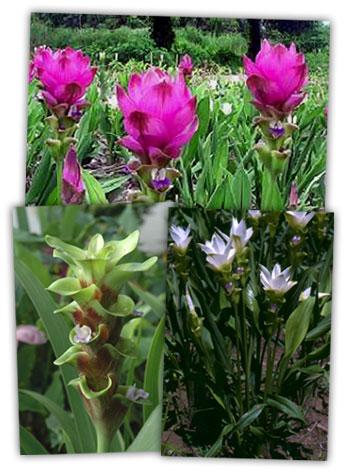 tulip_gingers