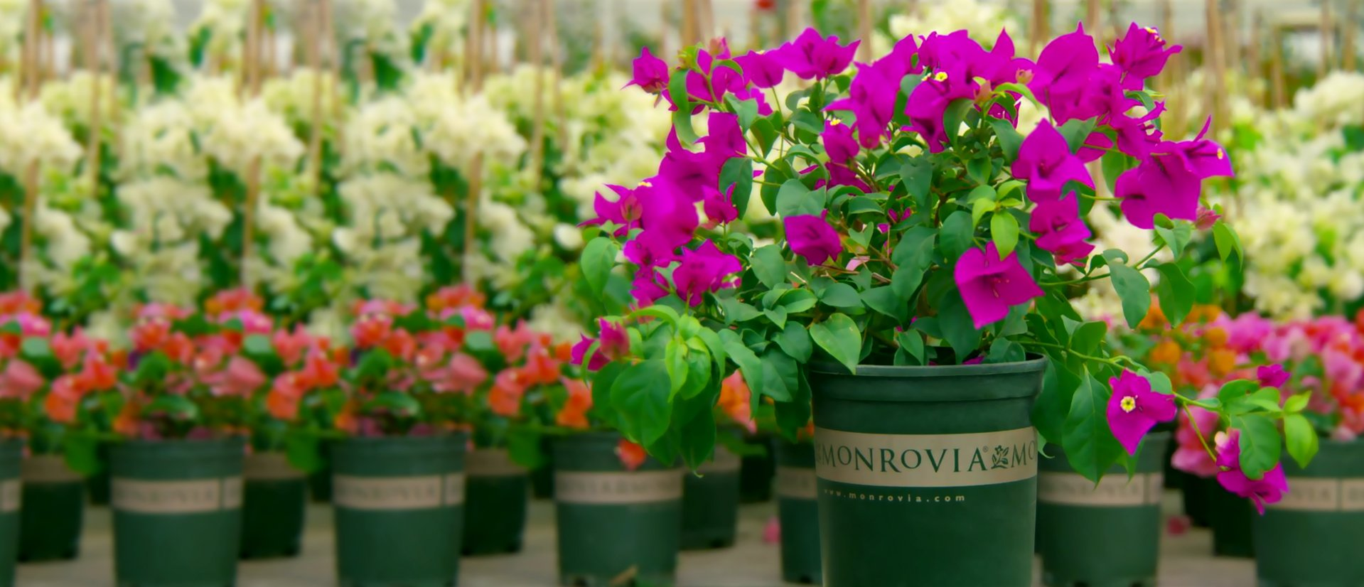 Order monrovia plants online for Plantes online