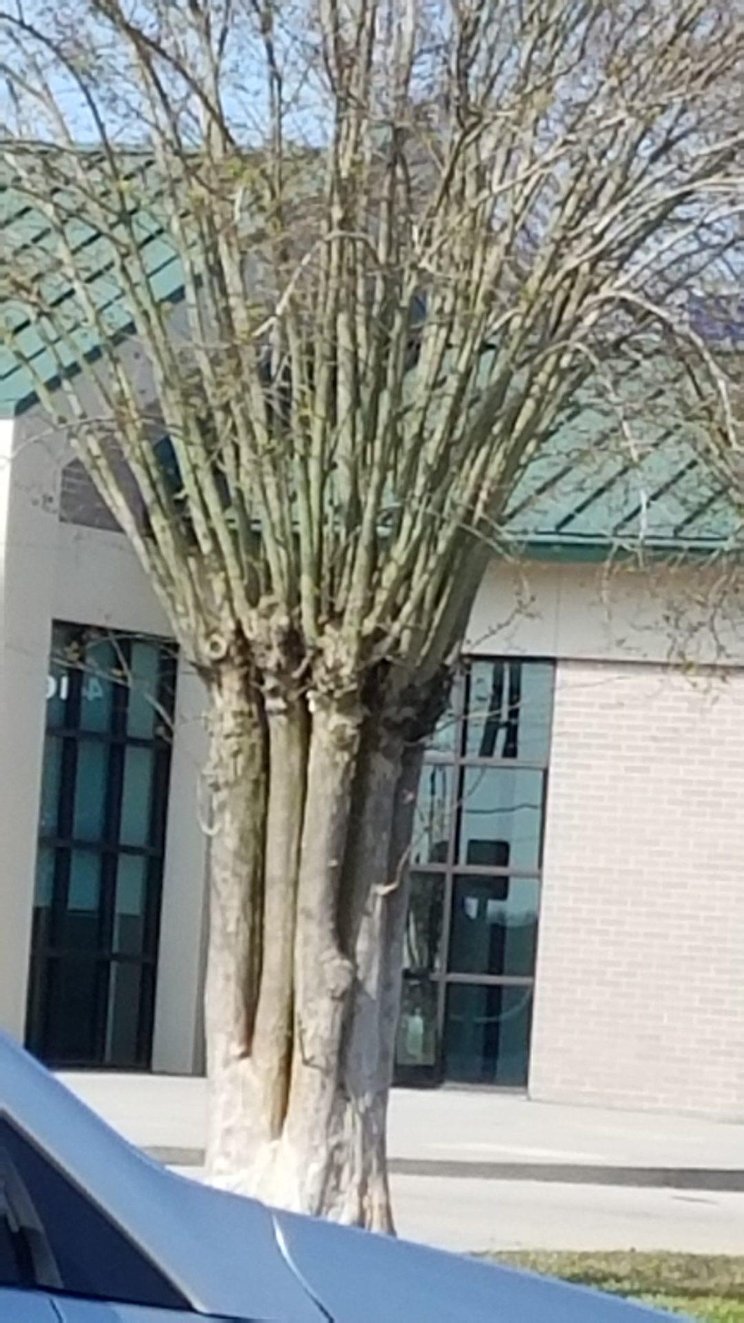 PLEASE STOP PLANTING CRAPE MYRTLES!!