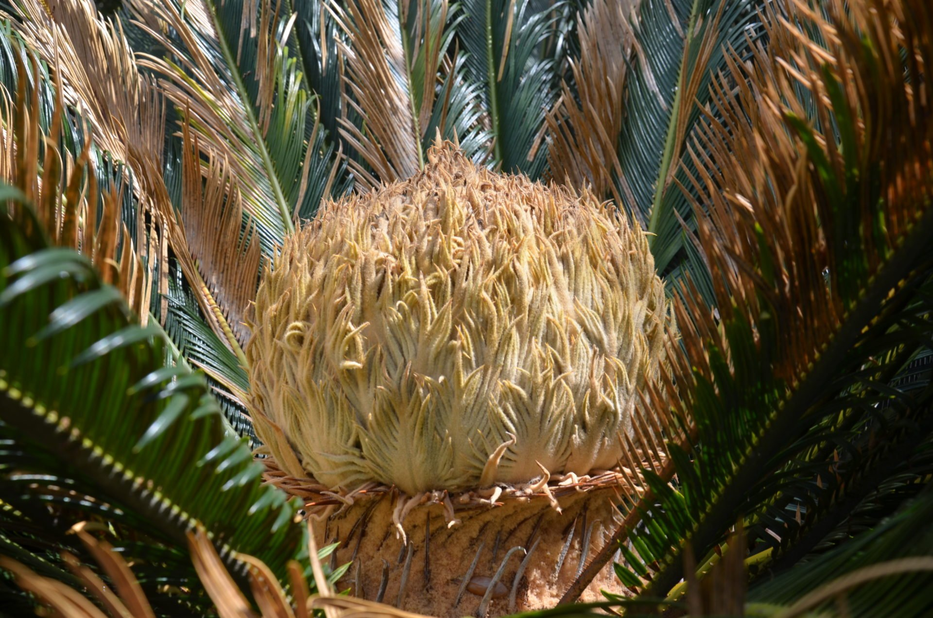 What is that on my Sago Palm???