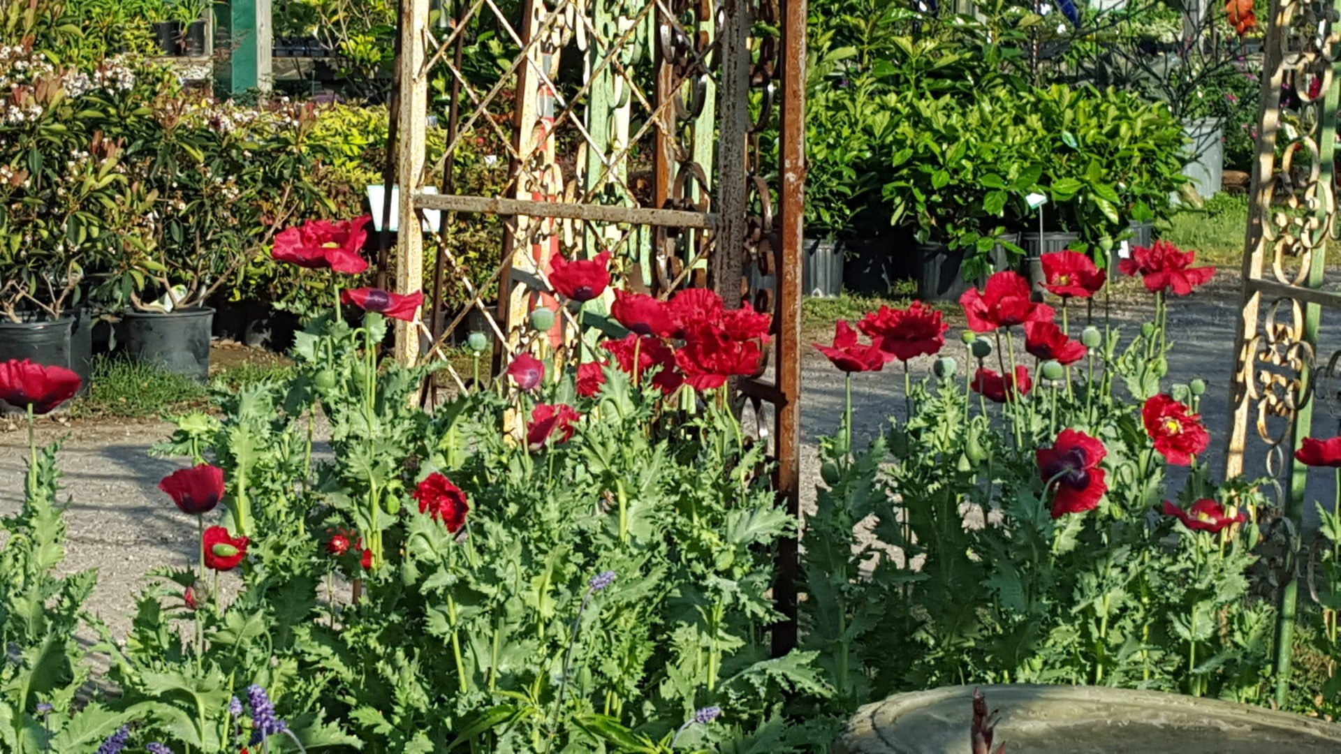 Plant Now for Spring Bloom! Poppies, Delphinium, and Larkspur