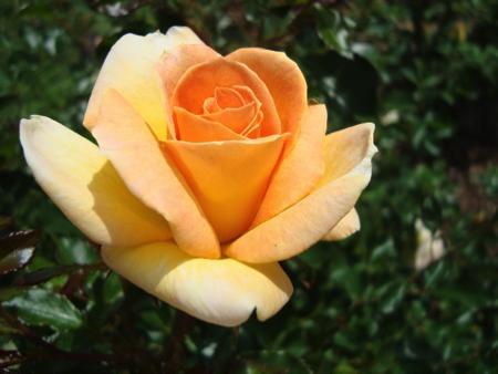 Fall Rose Pruning