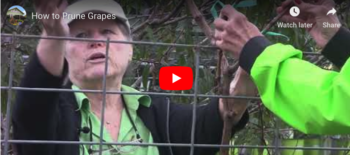 VIDEO: How to Prune Grapes