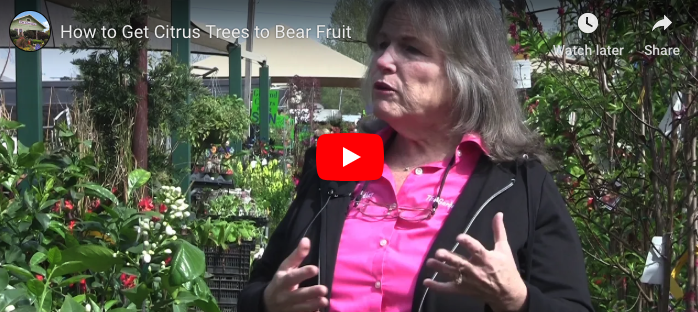 VIDEO: How to Get Citrus Trees to Bear Fruit
