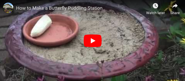 VIDEO: How To Make a Butterfly Puddling Station
