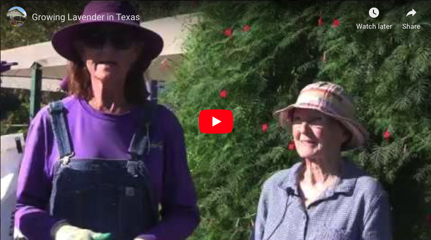Growing Lavender in Texas