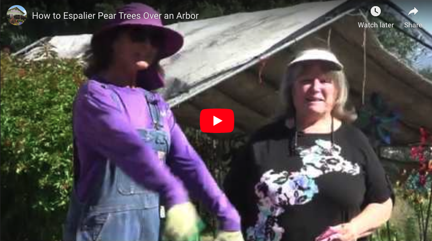 How To Espalier Pear Trees Over an Arbor
