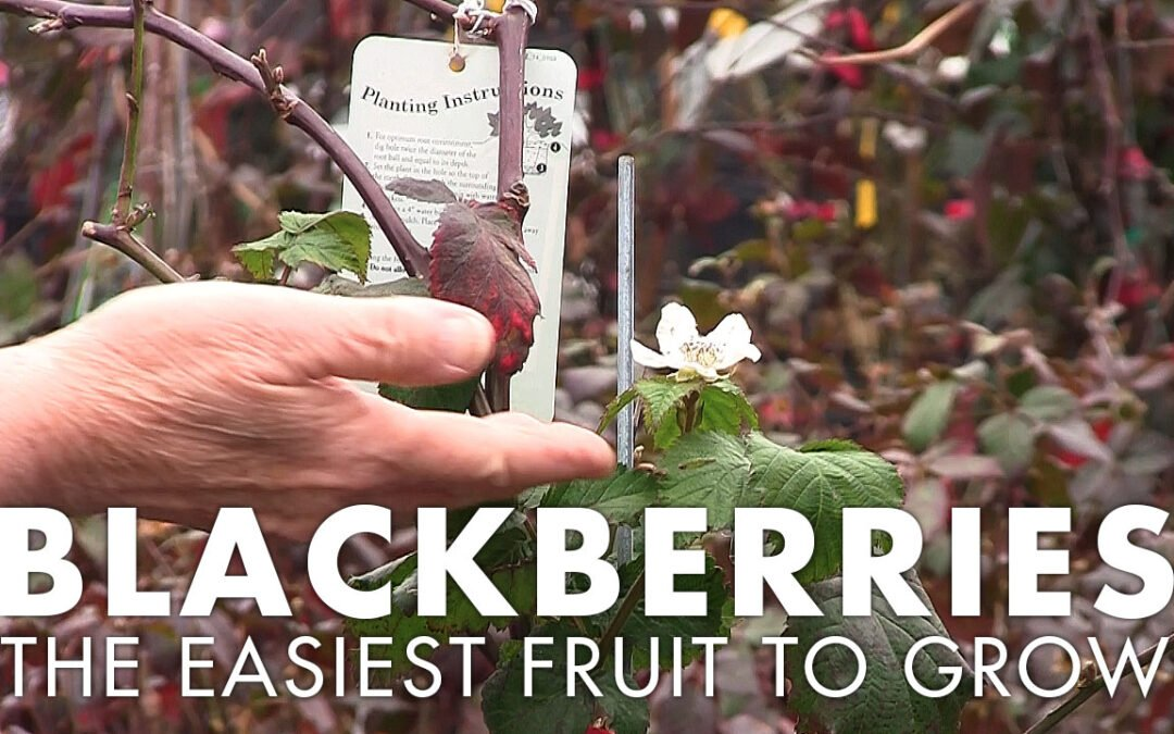 Blackberries: The Easiest Fruit to Grow