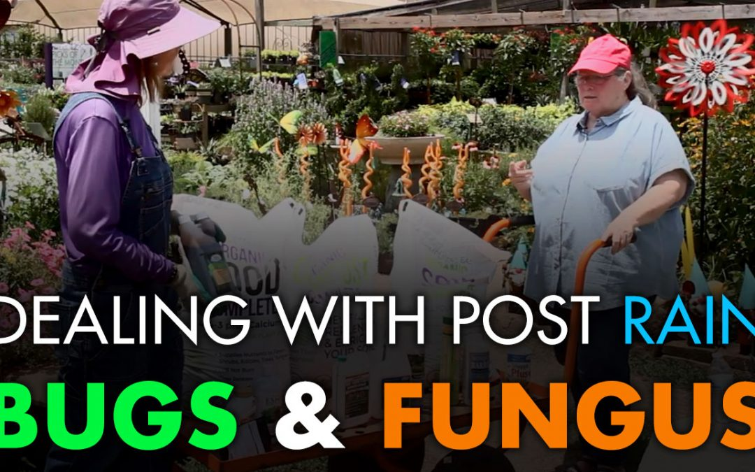 Video: Dealing with Post Rain Bugs and Fungus