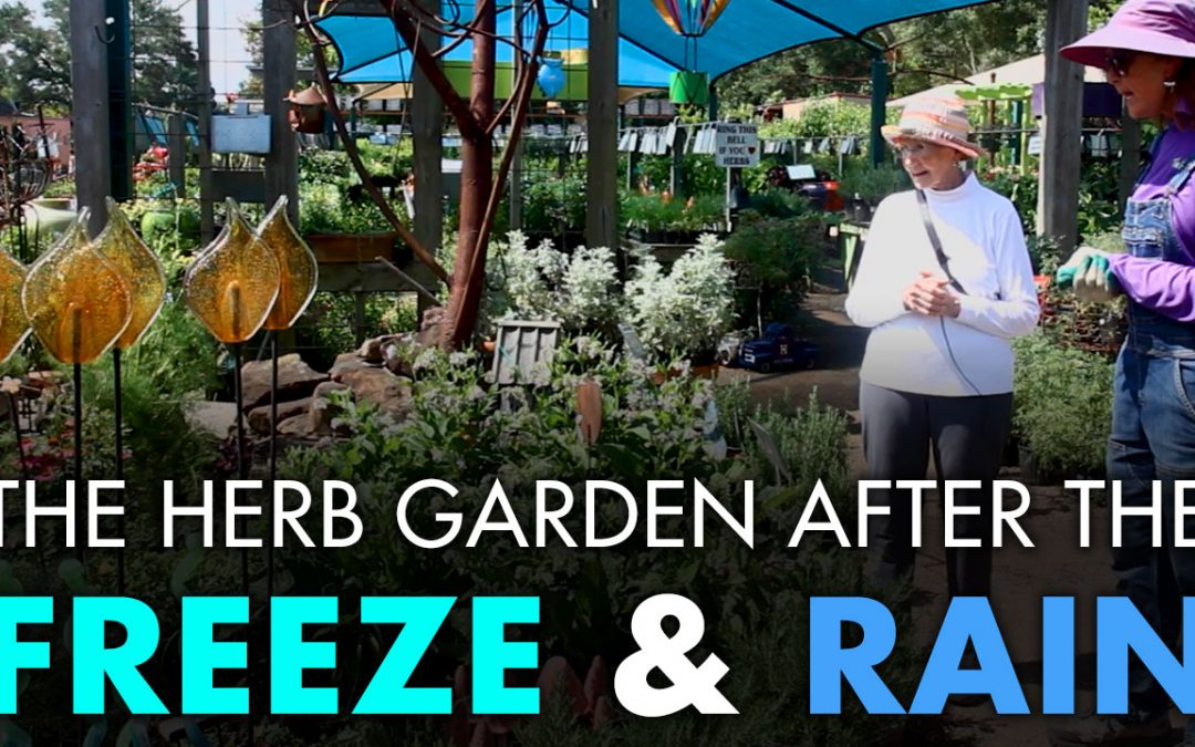 The Herb Garden After the Freeze… and Rain!!!